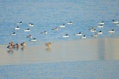 Patos salvajes en el río del invierno fotos de archivo