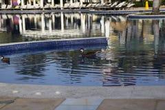 Patos salvajes en la piscina en la República Dominicana fotos de archivo