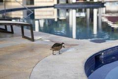 Patos salvajes en la piscina en la República Dominicana fotografía de archivo libre de regalías