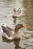 Patos salvajes hermosos Imagen de archivo libre de regalías