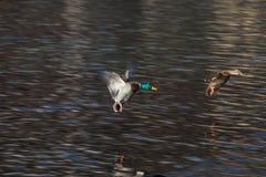 Patos salvajes que aterrizan en St Moritz, Suiza Imagenes de archivo