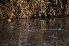 Patos salvajes que nadan Imagen de archivo