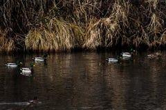 Patos salvajes que nadan Fotos de archivo