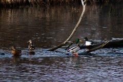 Patos salvajes que nadan Fotografía de archivo libre de regalías