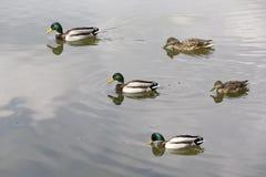 Patos salvajes que nadan en el lago Fotografía de archivo