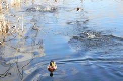 Patos salvajes que nadan y que se zambullen en el lago Fotografía de archivo
