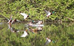 Patos salvajes que vuelan en el parque Pato del pato silvestre en naturaleza en el lago Foto de portada con los patos Fondo diseñ foto de archivo