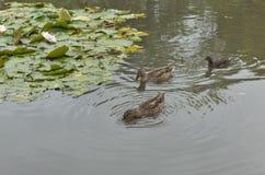 Patos salvajes y polla de agua que flotan en la charca con el lirio de agua Fotos de archivo libres de regalías