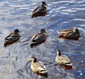 Patos, seis, na dança modelada foto de stock royalty free