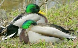 Patos selvagens 1 Fotografia de Stock
