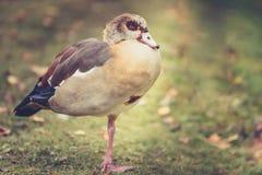 Patos selvagens Fotografia de Stock Royalty Free