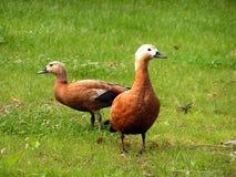 Patos selvagens. Fotografia de Stock
