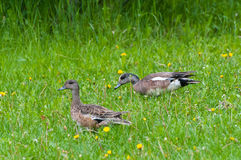 Patos selvagens Imagens de Stock Royalty Free