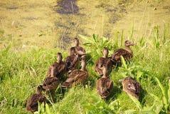 Patos selvagens Foto de Stock Royalty Free