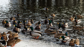 Patos selvagens Imagens de Stock Royalty Free