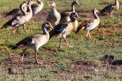 Patos selvagens Imagem de Stock Royalty Free