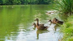 Patos selvagens Foto de Stock