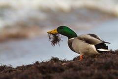 Patos selvagens com alimento Fotografia de Stock