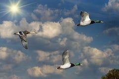 Patos selvagens e Sun Fotografia de Stock