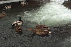 Patos selvagens em uma lagoa do inverno fotografia de stock