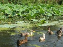Patos selvagens em uma lagoa em Ladakh-3 Imagens de Stock Royalty Free