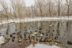 Patos selvagens, gansos, e híbrido Foto de Stock