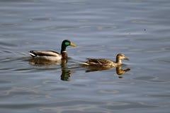 Patos selvagens masculinos e fêmeas que nadam lentamente afastado Fotos de Stock Royalty Free