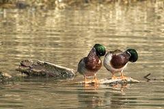 Patos selvagens masculinos que enfeitam-se Fotografia de Stock