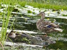 Patos selvagens na água Imagens de Stock Royalty Free