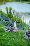 Patos selvagens na lagoa Foto de Stock Royalty Free