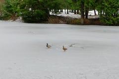 Patos selvagens no gelo Fotos de Stock
