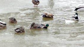 Patos selvagens no inverno vídeos de arquivo