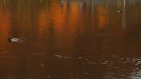 Patos selvagens no lago no outono video estoque