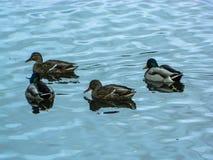 Patos selvagens no rio Foto de Stock