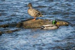 Patos selvagens no rio Imagem de Stock