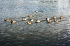Patos selvagens no tanque de água Foto de Stock Royalty Free