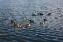 Patos selvagens no tanque de água Fotos de Stock Royalty Free