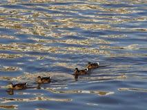 Patos selvagens ou pato selvagem que flutuam um por um no corpo da água imagens de stock royalty free