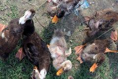 Patos selvagens pequenos ou patos selvagens Fotografia de Stock Royalty Free