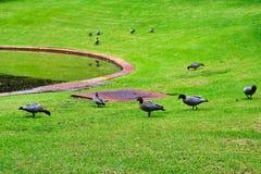 Patos selvagens que alimentam em público o parque, Perth, Austrália Ocidental fotografia de stock