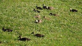 Patos selvagens que comem a grama filme