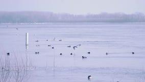 Patos selvagens que nadam a flutuação abaixo de um rio no tempo de inverno vídeos de arquivo
