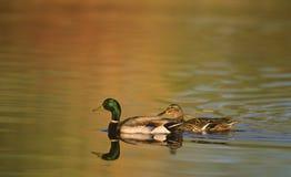 Patos selvagens que nadam na lagoa Imagens de Stock Royalty Free