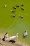 Patos silvestres en el lago Fotos de archivo