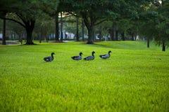 Patos silvestres en hierba Fotografía de archivo libre de regalías