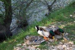 Patos silvestres en la orilla del río Imagen de archivo