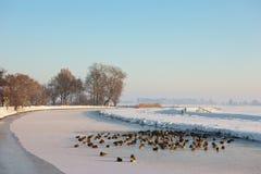 Patos silvestres en un paisaje congelado Foto de archivo