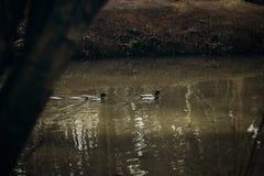 Patos silvestres lindos que nadan en un lago en el bosque, pájaros salvajes - duc Foto de archivo
