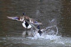 Patos silvestres que se persiguen en la charca Foto de archivo libre de regalías