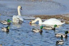 Patos y cisnes del pato silvestre que nadan en el lago Imagen de archivo libre de regalías